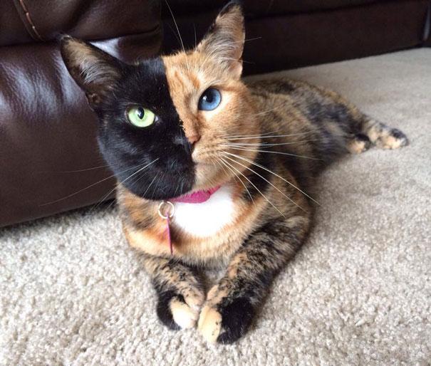 Двойной кот